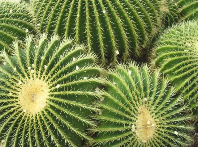 Cactus-Kew Gardens