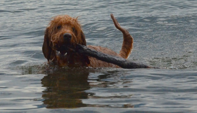 Bingley brings back a stick